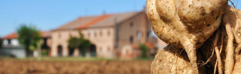 patata-americana-di-Anguillara-e-Stroppare1