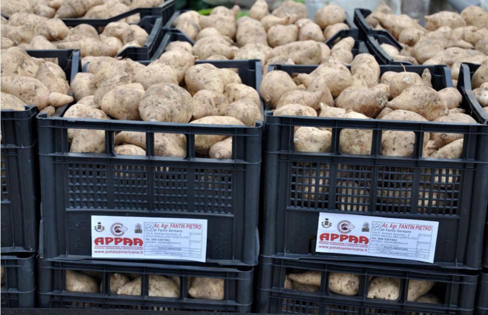 produttori-patata-americana-2